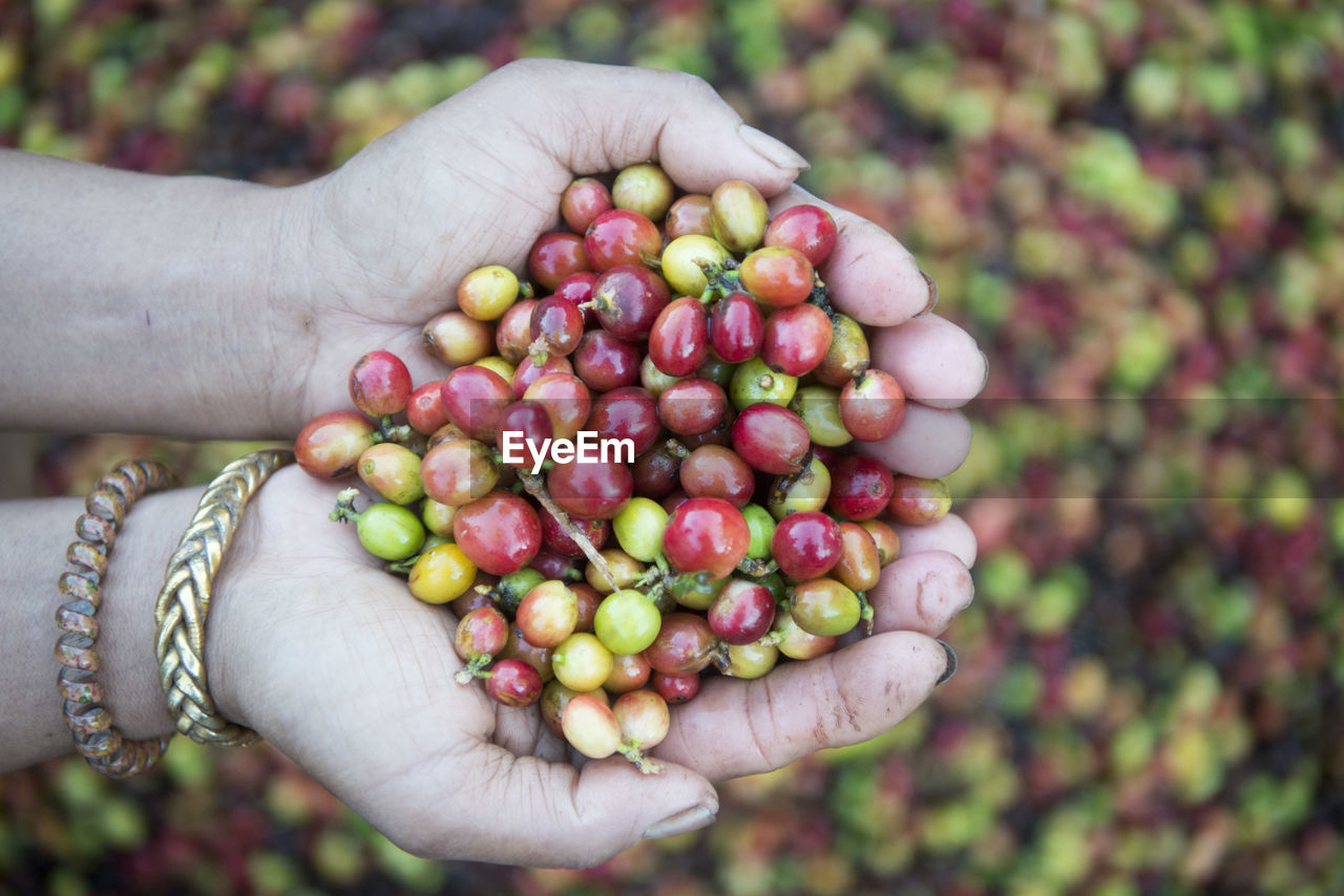 Close-Up Of Woman Holding Coffee Berries