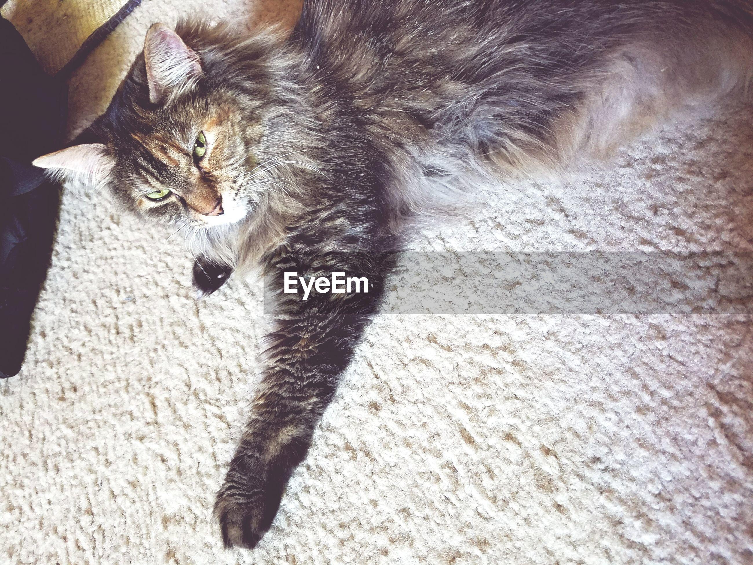 High angle view of cat lying on rug