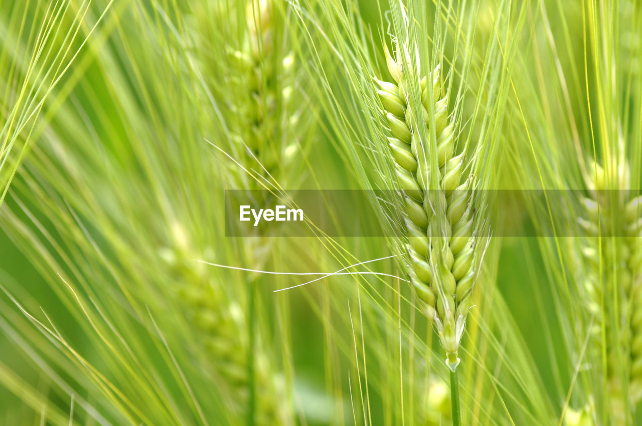 growth, nature, green color, ear of wheat, grass, close-up, plant, day, field, beauty in nature, no people, agriculture, outdoors, full frame, cereal plant, wheat, tranquility, backgrounds, freshness, fragility