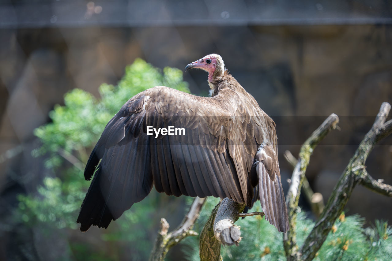 animals in the wild, animal wildlife, animal, bird, animal themes, vertebrate, one animal, perching, focus on foreground, day, nature, bird of prey, no people, outdoors, zoology, vulture, spread wings, sunlight, tree, eagle