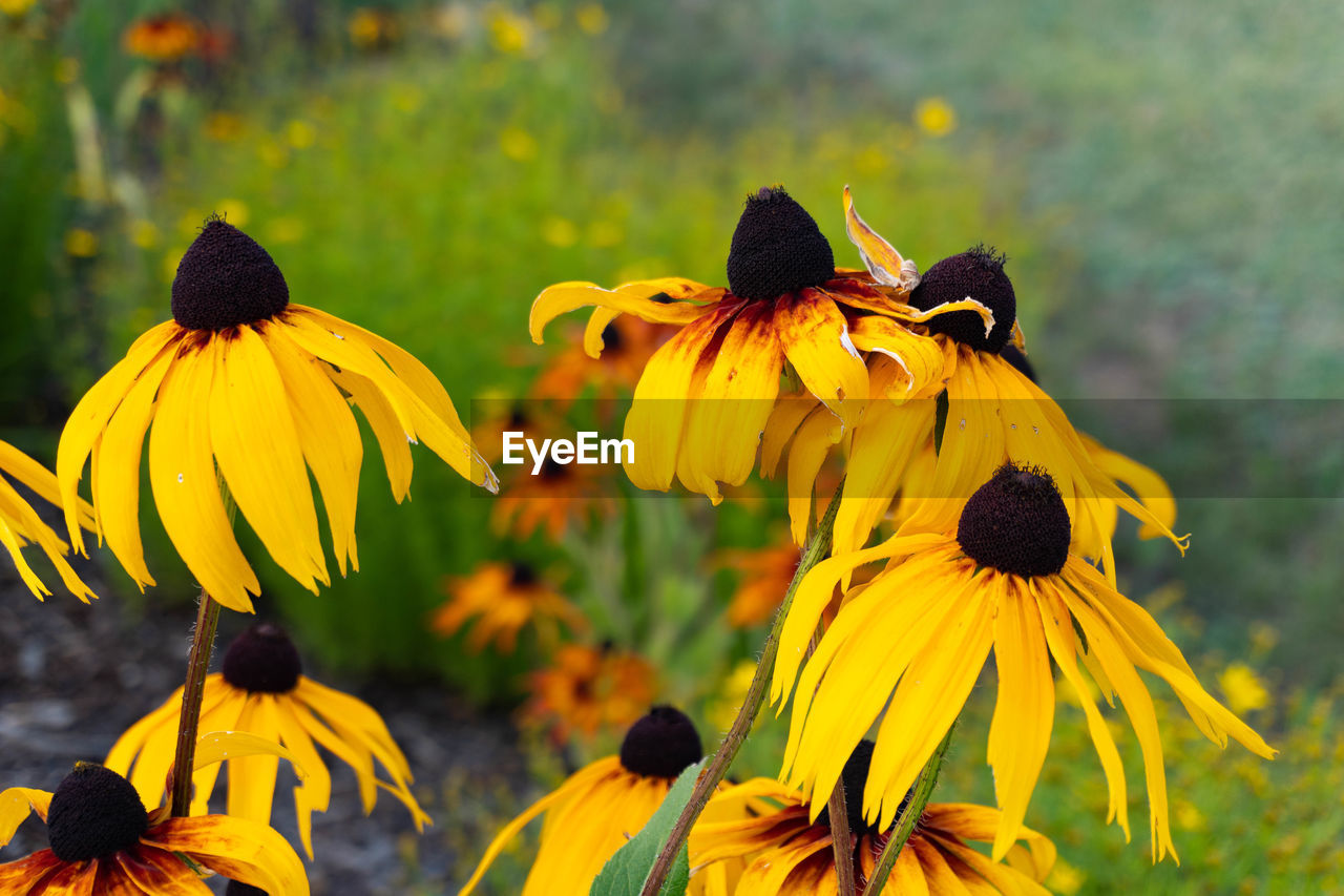 yellow, flowering plant, flower, coneflower, plant, growth, beauty in nature, freshness, fragility, flower head, petal, black-eyed susan, vulnerability, inflorescence, focus on foreground, close-up, day, nature, pollen, no people, outdoors