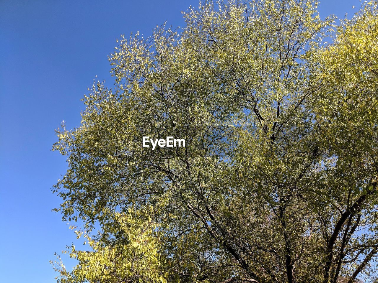 tree, plant, low angle view, growth, beauty in nature, sky, branch, nature, no people, tranquility, day, clear sky, outdoors, flowering plant, flower, blue, yellow, sunlight, blossom, springtime, spring, tree canopy