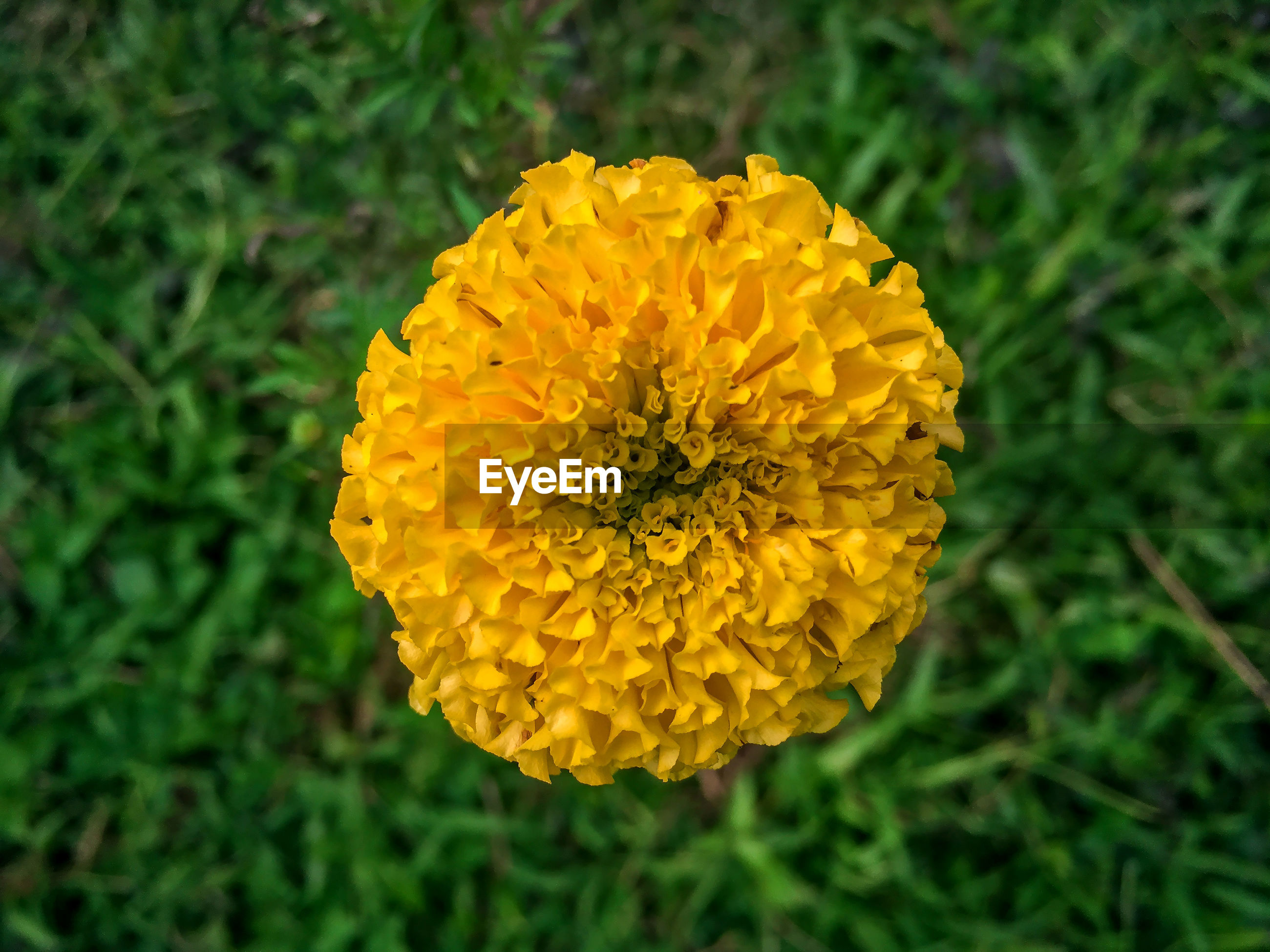 CLOSE-UP OF MARIGOLD BLOOMING ON FIELD