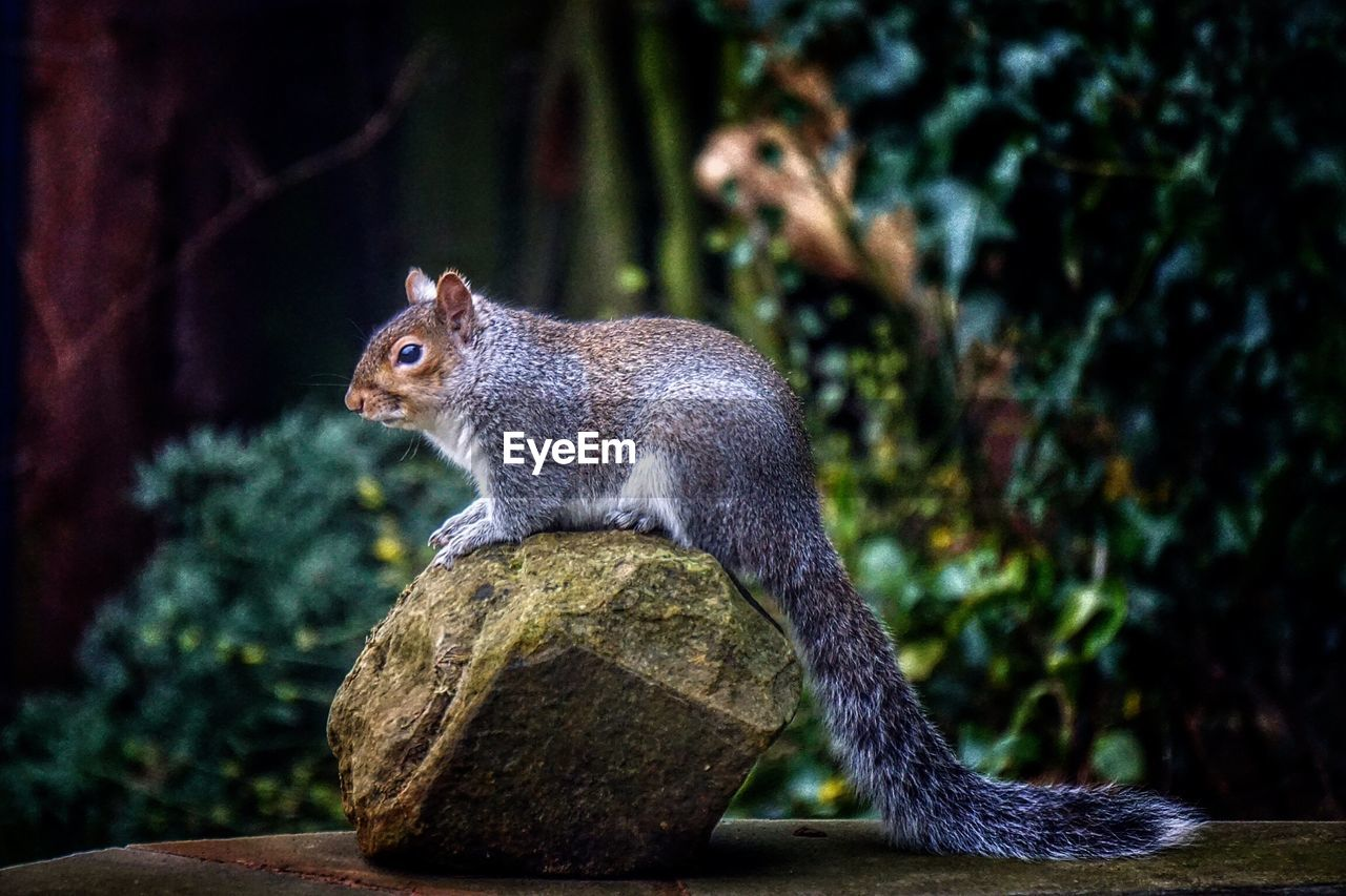 one animal, squirrel, no people, animal themes, outdoors, day, mammal, tree, animals in the wild, nature, close-up
