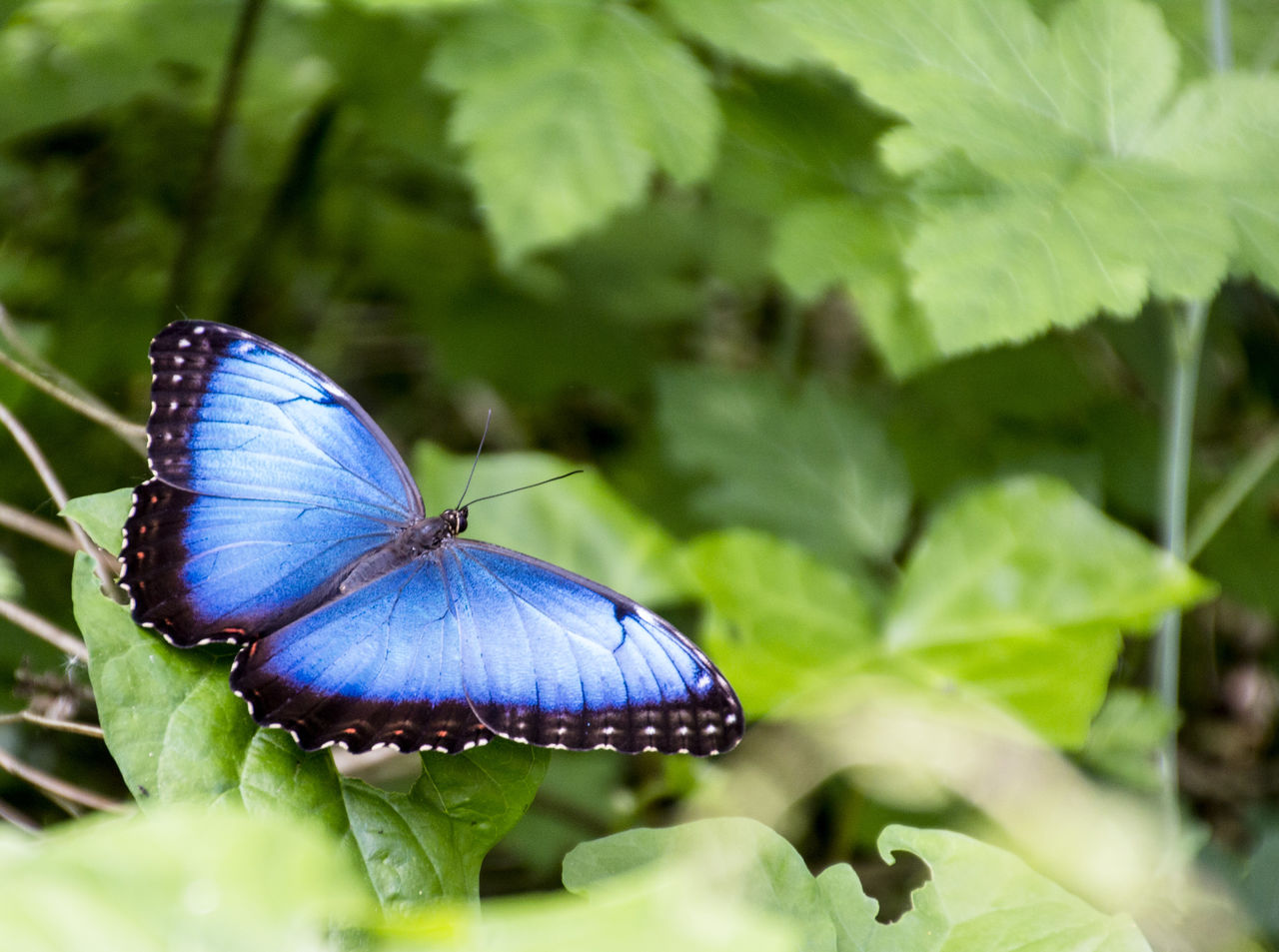 insect, animal themes, animals in the wild, one animal, butterfly - insect, leaf, nature, butterfly, close-up, green color, plant, beauty in nature, blue, no people, outdoors, day, animal wildlife, fragility