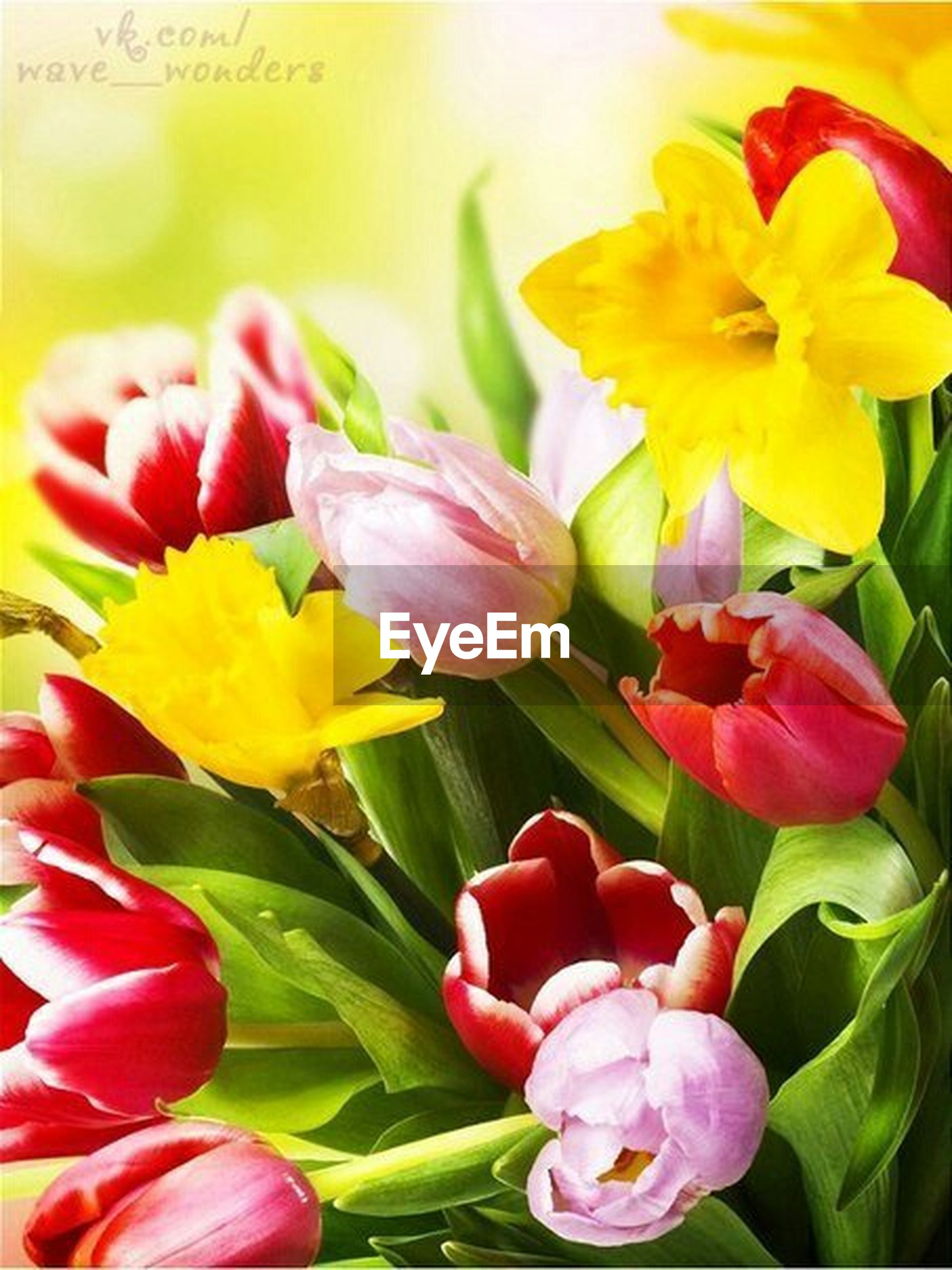 flower, petal, freshness, flower head, fragility, beauty in nature, close-up, pink color, growth, yellow, nature, blooming, tulip, plant, focus on foreground, rose - flower, indoors, in bloom, no people, red