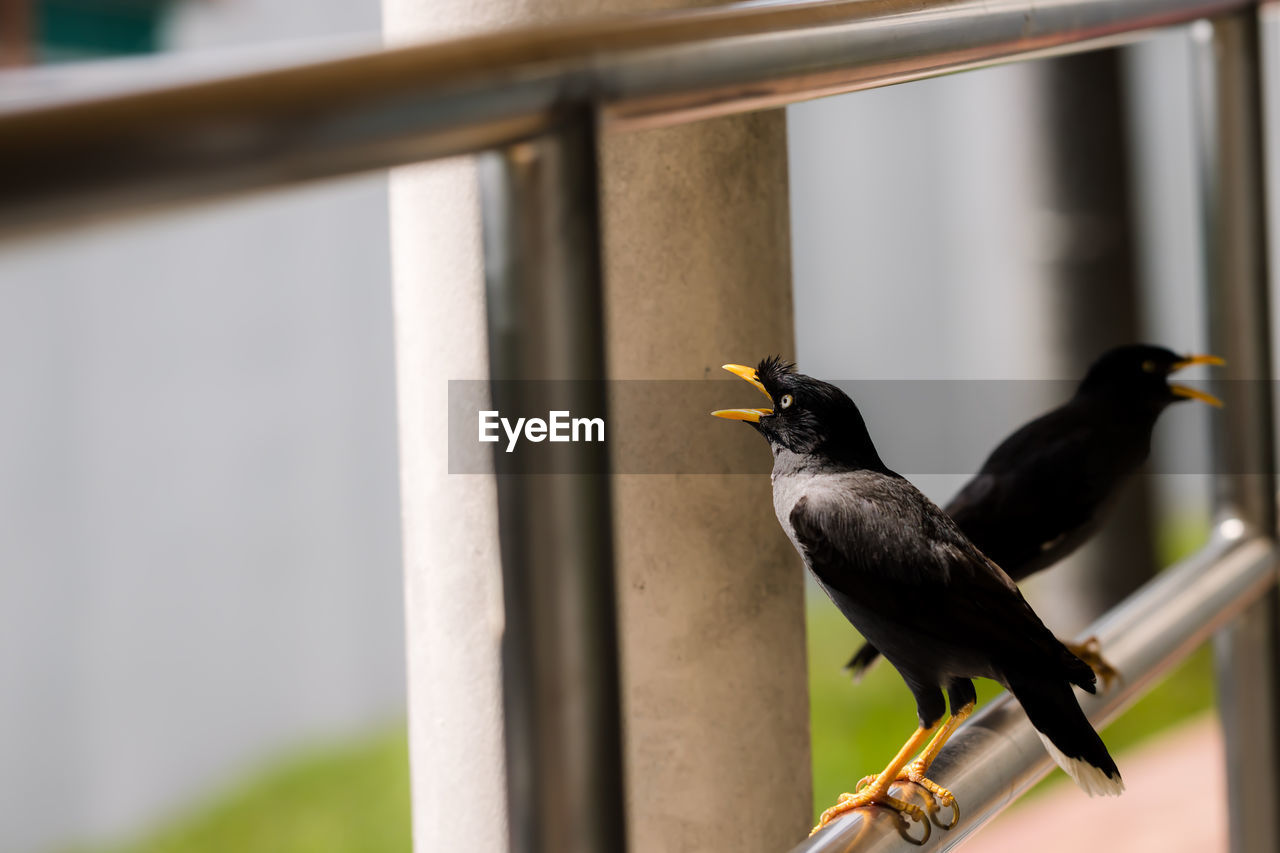 bird, animal themes, animal wildlife, vertebrate, animal, animals in the wild, perching, one animal, focus on foreground, no people, day, close-up, outdoors, railing, black color, nature, selective focus, wood - material, metal, zoology, blackbird
