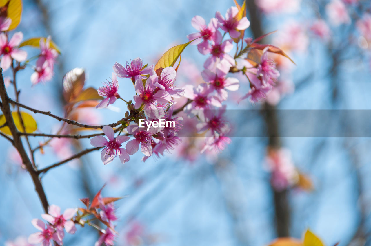 Low angle view of pink flowers growing on tree