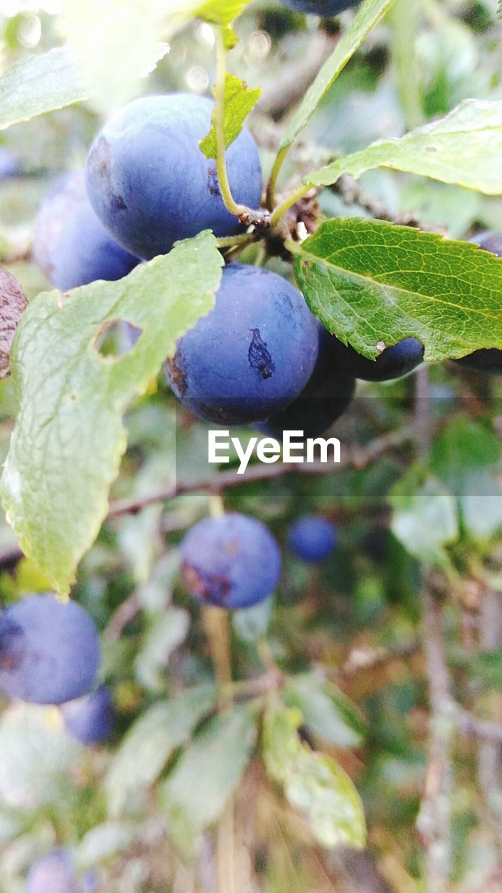 fruit, growth, healthy eating, plant, food, food and drink, freshness, close-up, day, berry fruit, ripe, blueberry, nature, wellbeing, no people, purple, leaf, plant part, focus on foreground, tree, outdoors