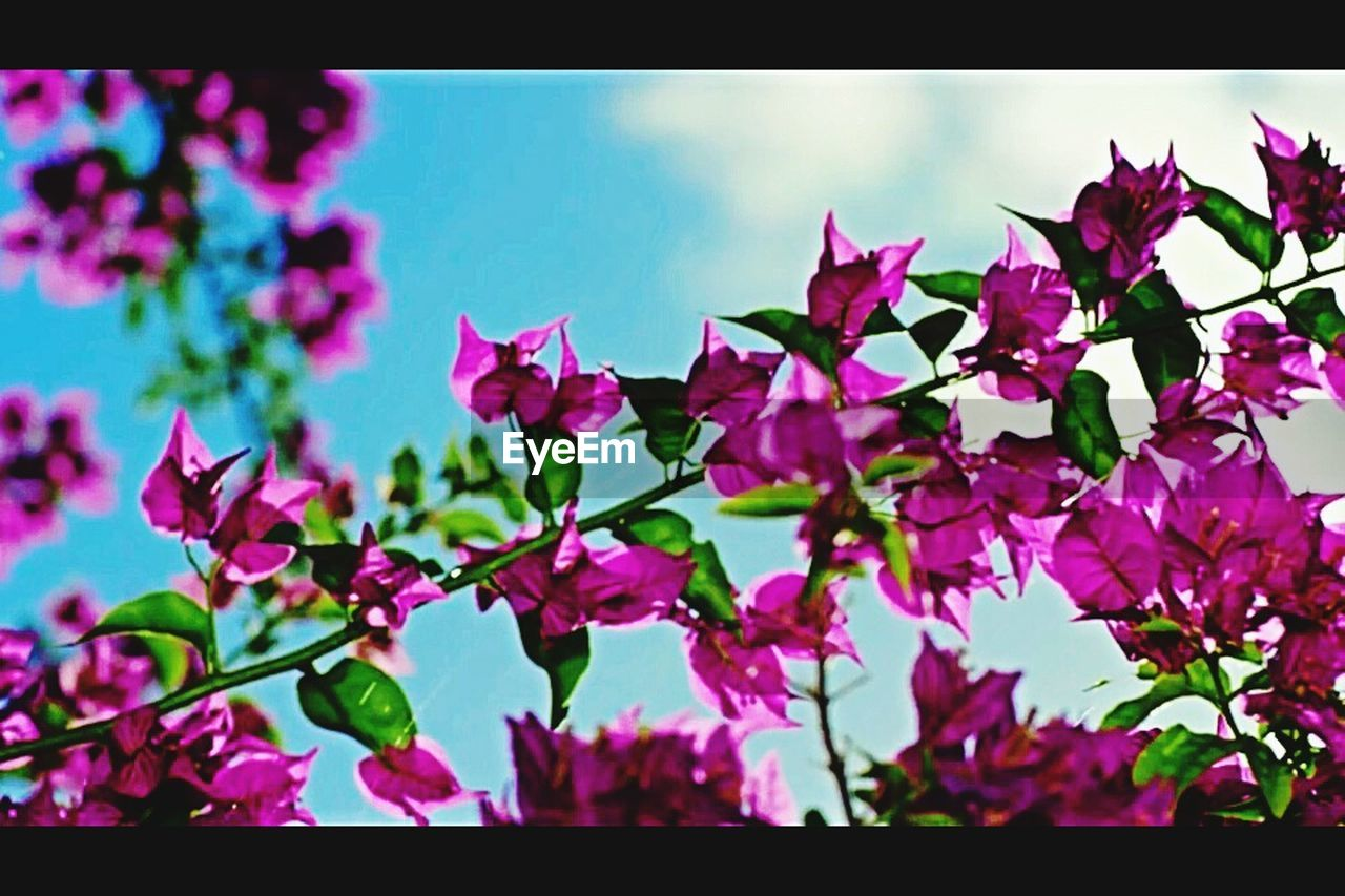 growth, beauty in nature, nature, flower, leaf, no people, plant, day, outdoors, fragility, freshness, close-up, bougainvillea, sky