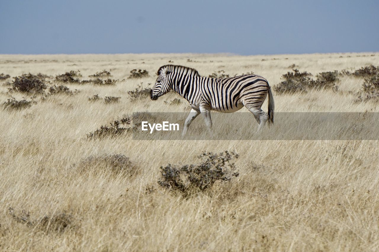 Zebras walking on field against sky