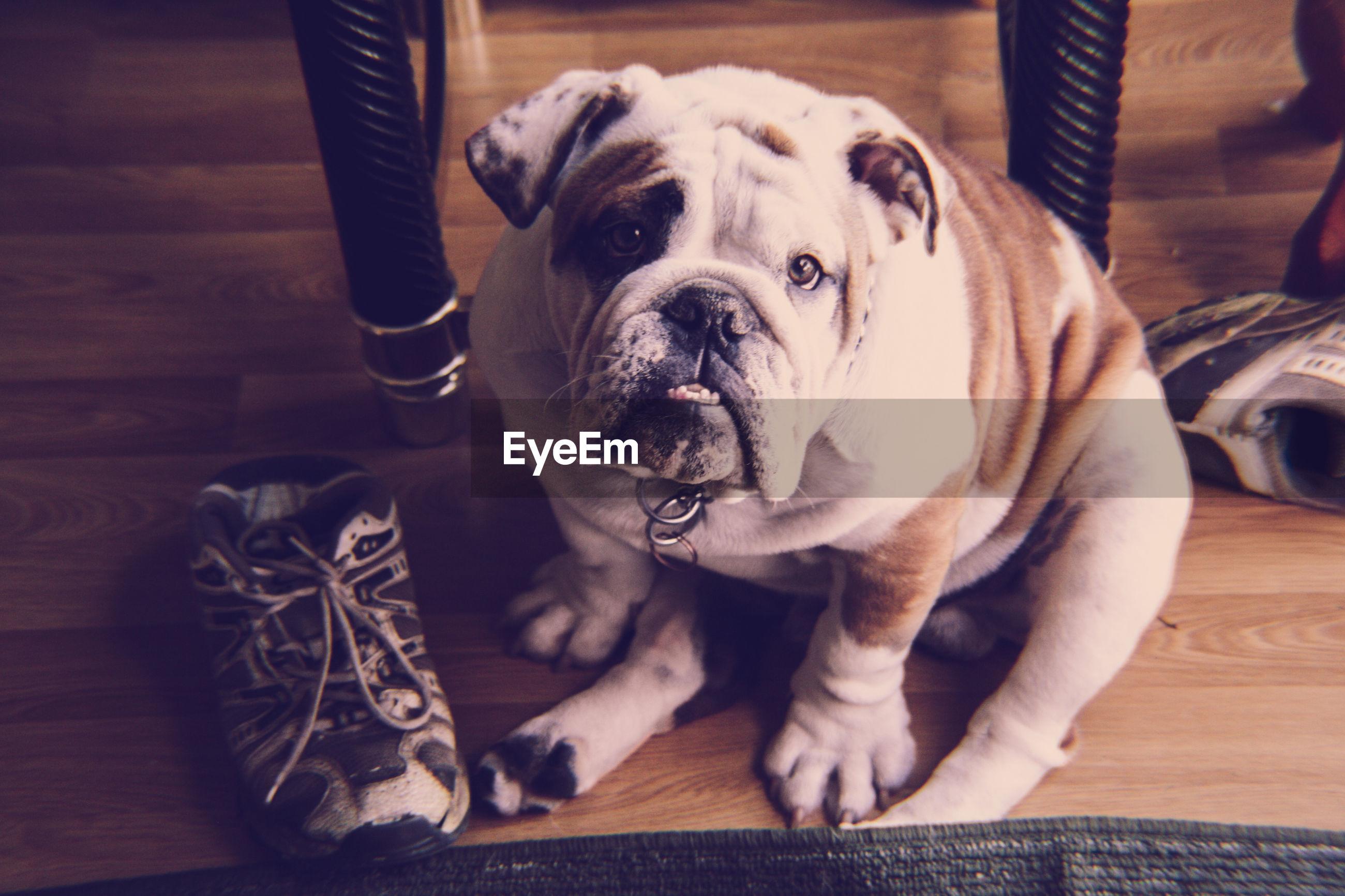 Portrait of english bulldog sitting hardwood floor