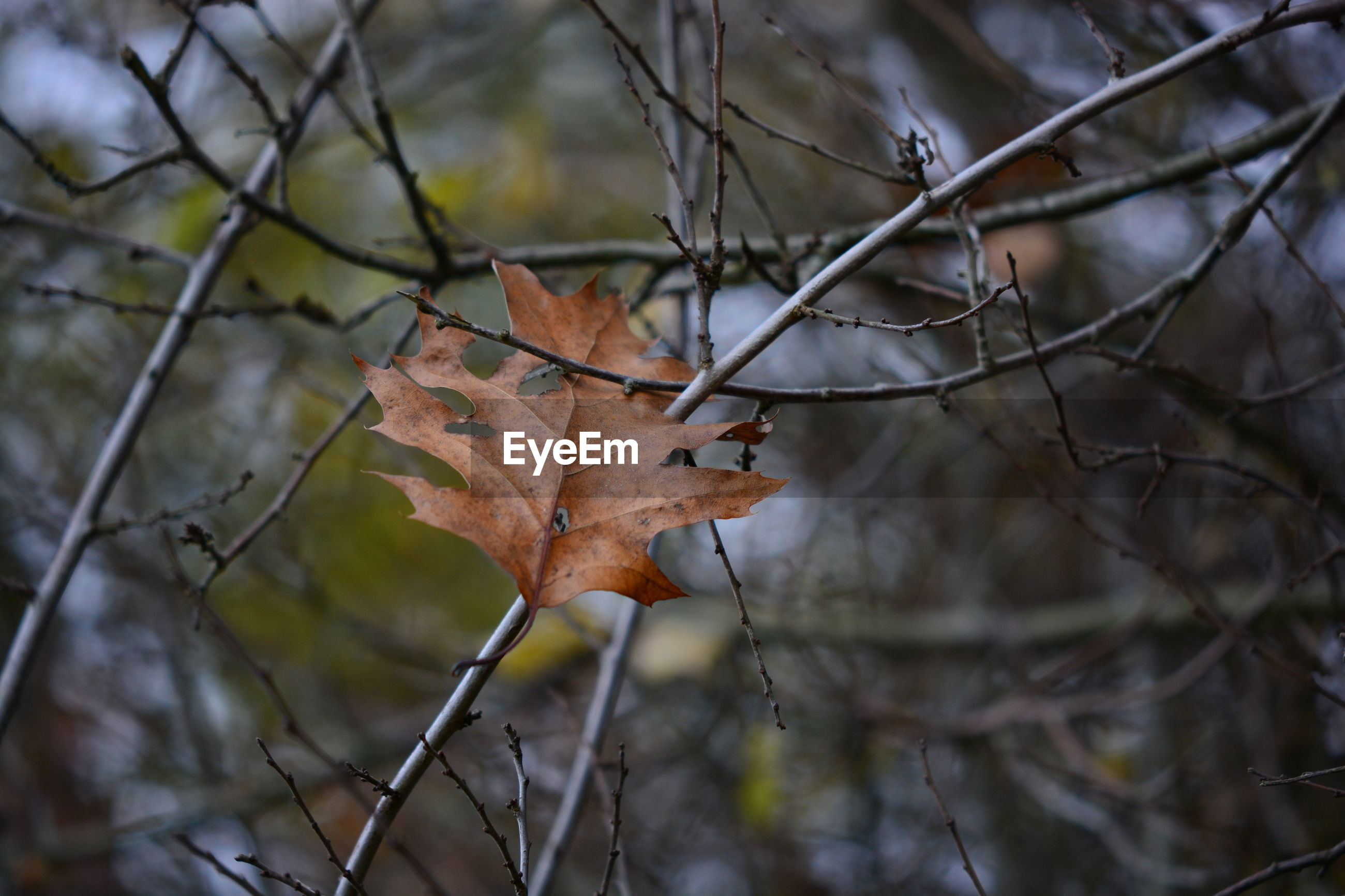 Close-up of dry maple leaves on branch
