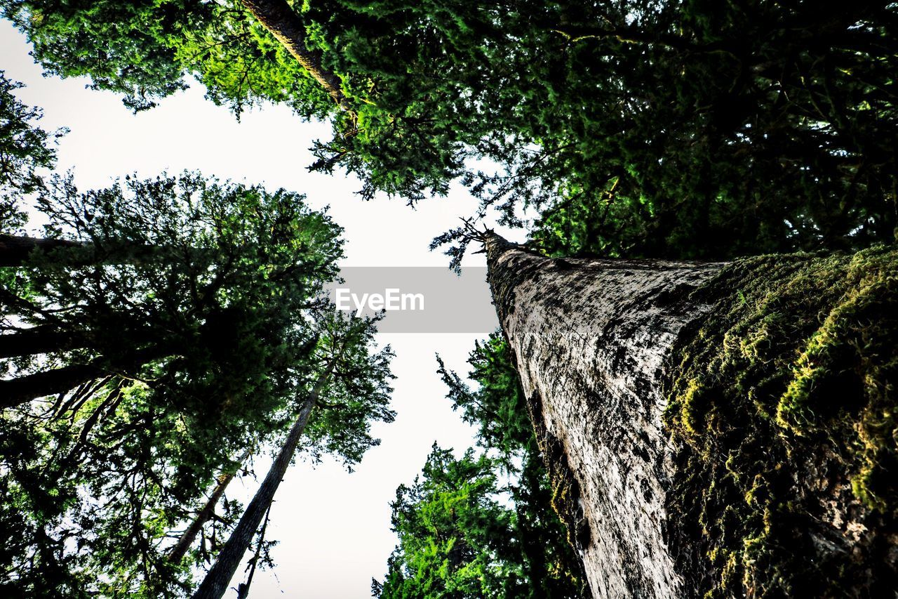 tree, plant, growth, low angle view, nature, tree trunk, trunk, sky, no people, day, branch, beauty in nature, forest, outdoors, tranquility, green color, bark, tall - high, land, scenics - nature, directly below, tree canopy