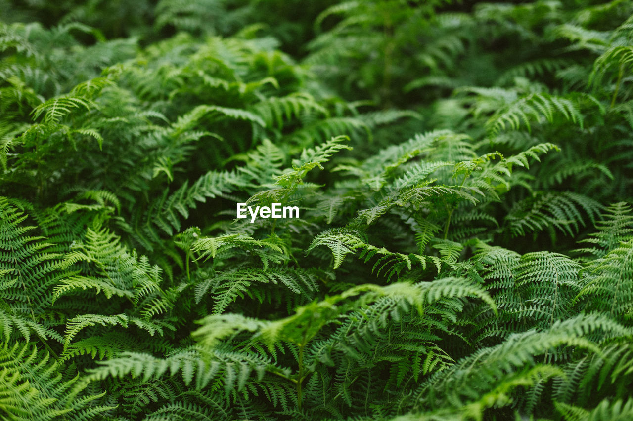 green color, growth, plant, fern, no people, leaf, plant part, beauty in nature, nature, freshness, close-up, selective focus, full frame, foliage, day, lush foliage, backgrounds, tree, outdoors, land, leaves, rainforest