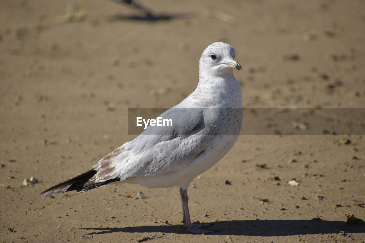 bird, animal themes, animal, vertebrate, animal wildlife, animals in the wild, one animal, land, seagull, focus on foreground, no people, close-up, nature, day, white color, beach, perching, sand, full length, sunlight