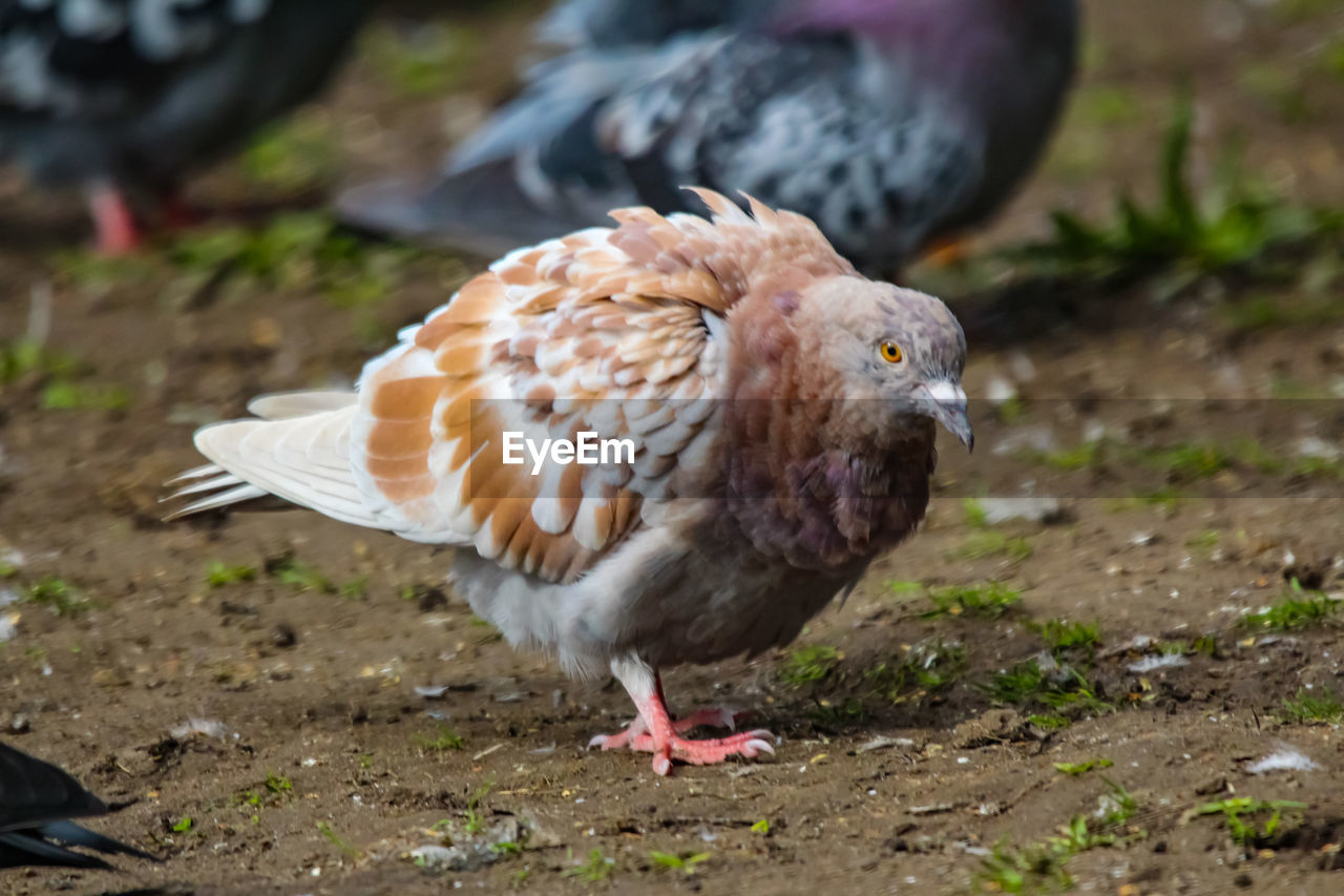 bird, animal, animal themes, vertebrate, one animal, animal wildlife, animals in the wild, land, day, no people, field, focus on foreground, close-up, nature, perching, brown, full length, outdoors, zoology, bird of prey