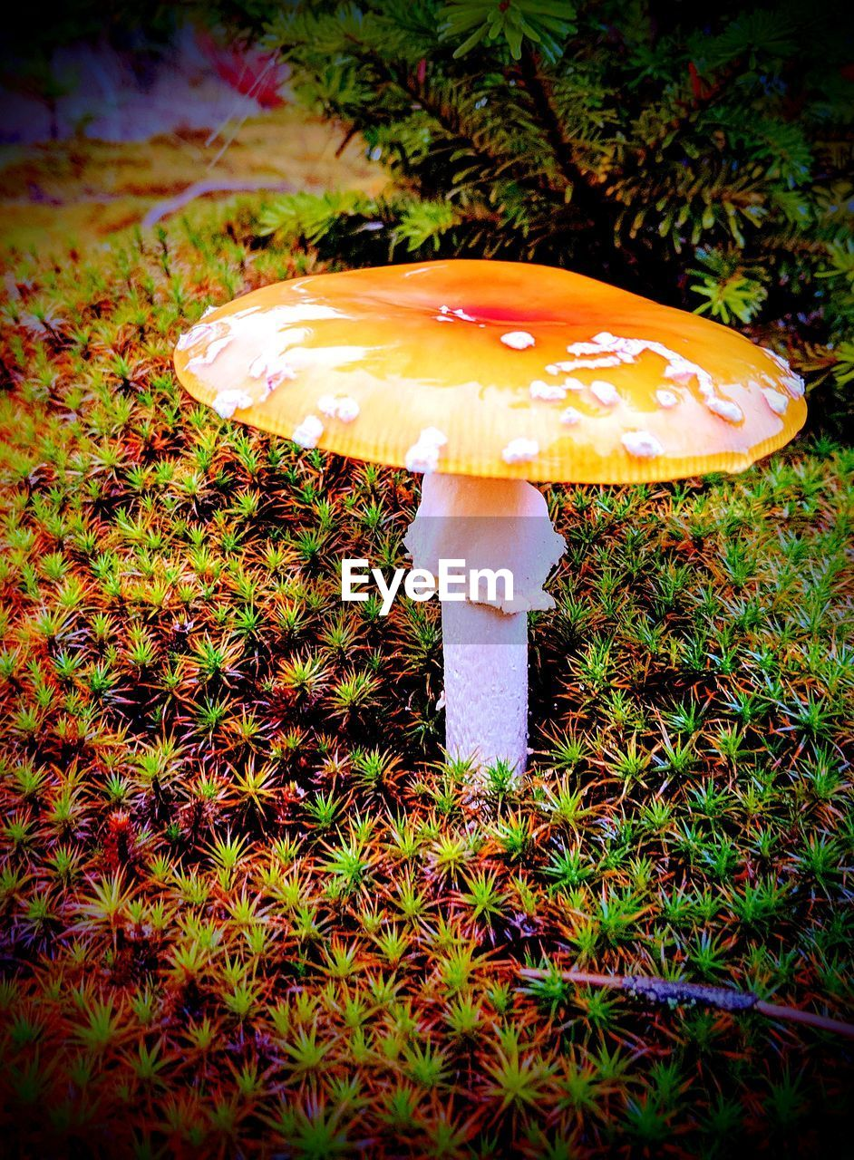 mushroom, nature, growth, fungus, beauty in nature, toadstool, no people, outdoors, day, close-up, freshness, leaf, fragility, grass, fly agaric, fly agaric mushroom