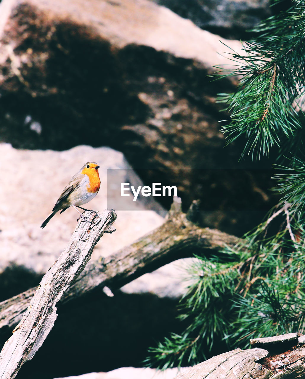 View Of Robin Perching On Tree