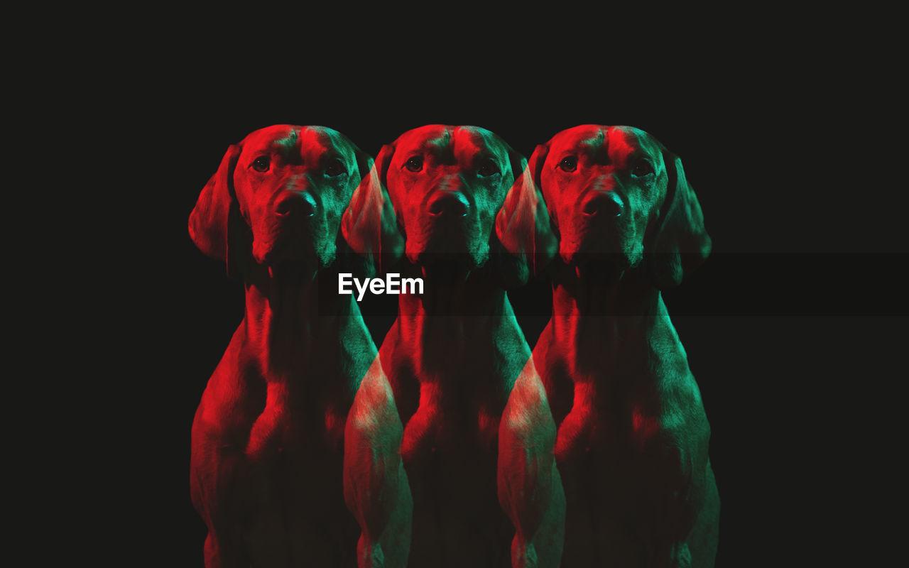 Multiple Image Of Dog Against Black Background