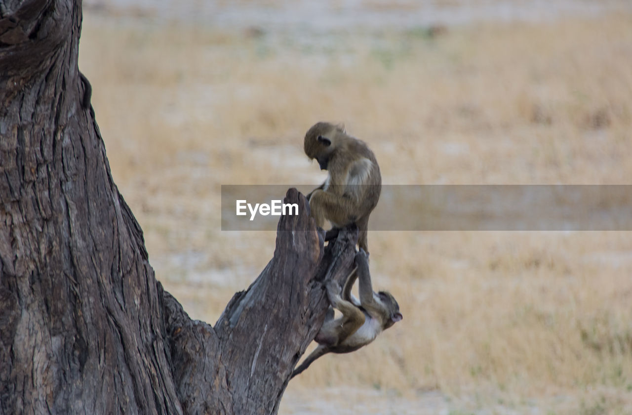 Young Monkey On Tree Trunk