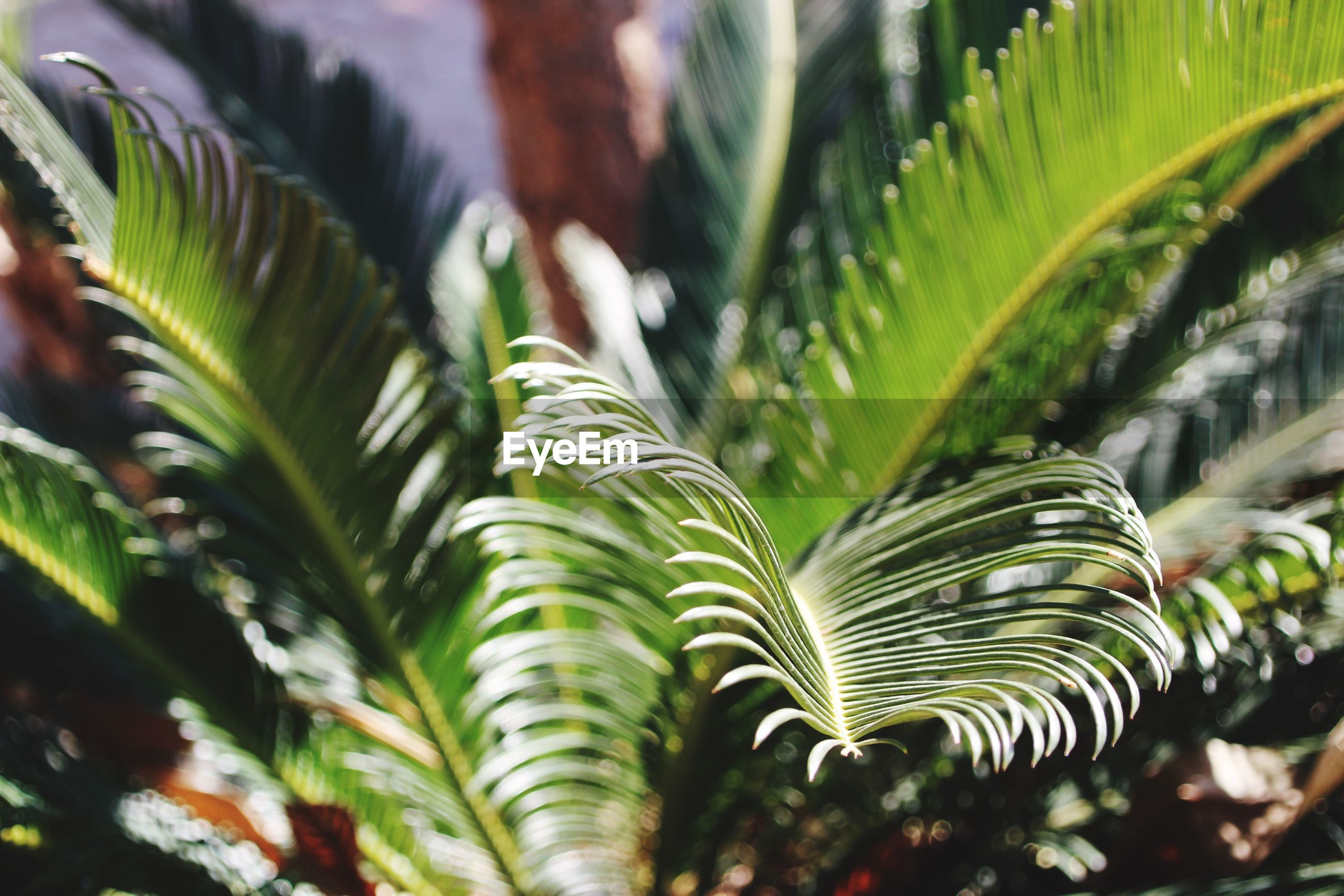 CLOSE-UP OF PALM LEAVES AGAINST TREES