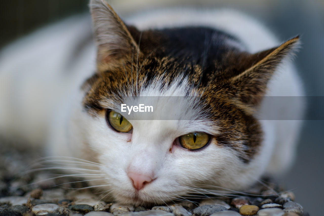 domestic cat, animal themes, cat, domestic, one animal, domestic animals, pets, animal, feline, mammal, vertebrate, close-up, whisker, portrait, no people, looking at camera, animal body part, relaxation, focus on foreground, indoors, animal head, yellow eyes, animal eye, tabby