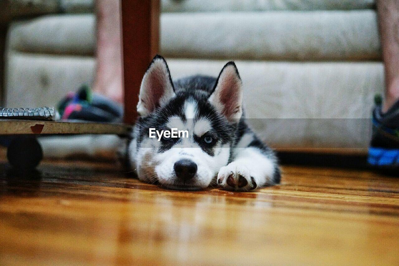 Portrait of alaskan husky lying on floor at home