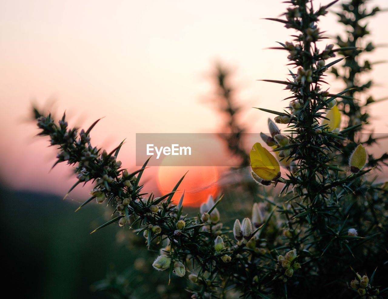 Close-up of yellow flowers and buds during sunset