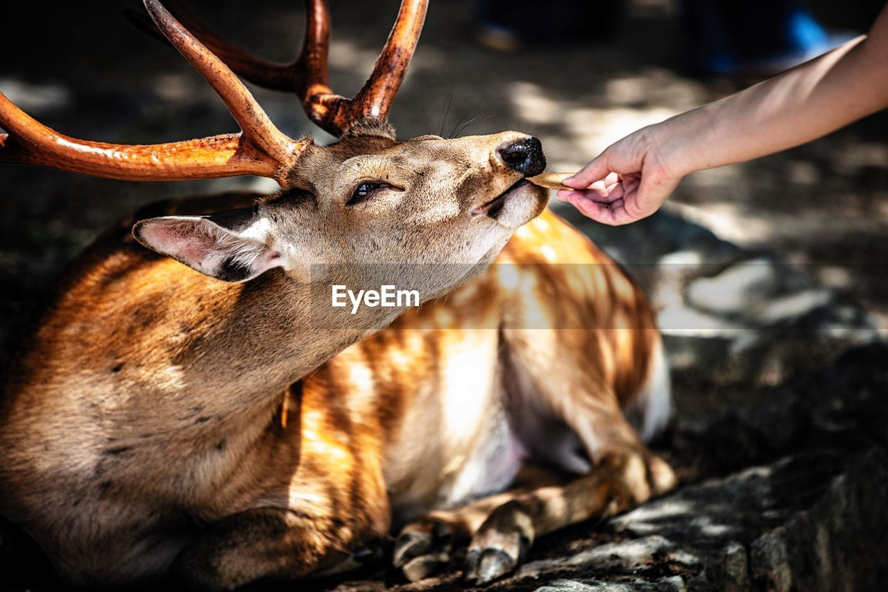 Cropped hand feeding stag resting at zoo