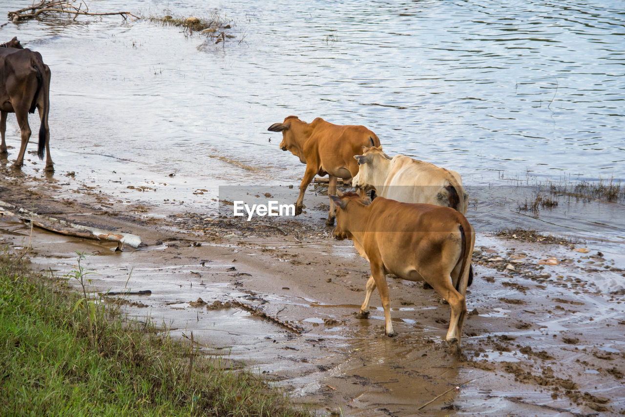 High angle view of cows walking on riverbank