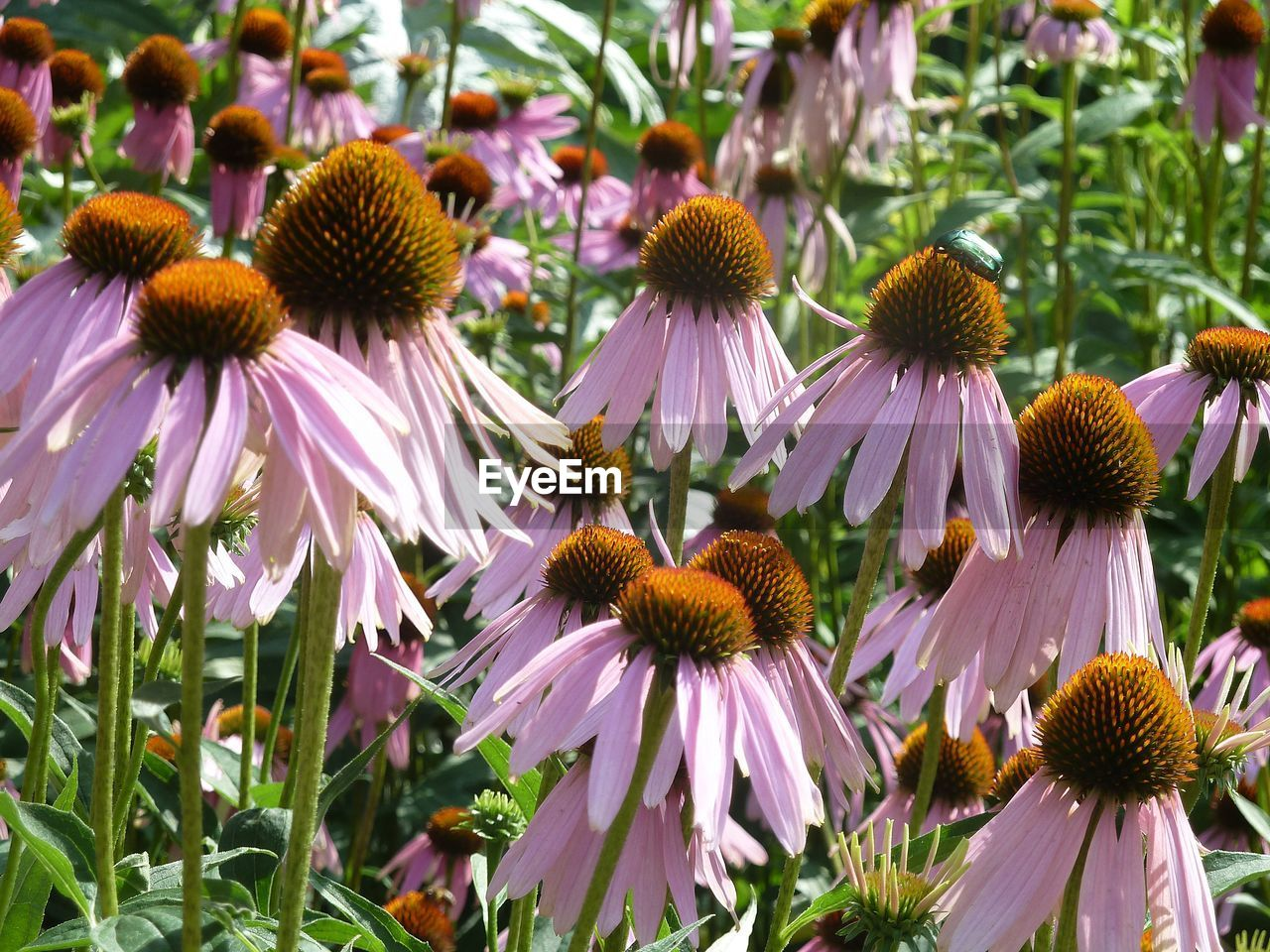 flowering plant, flower, coneflower, freshness, fragility, vulnerability, plant, petal, beauty in nature, flower head, close-up, growth, inflorescence, pollen, no people, day, focus on foreground, nature, outdoors, pink color, purple