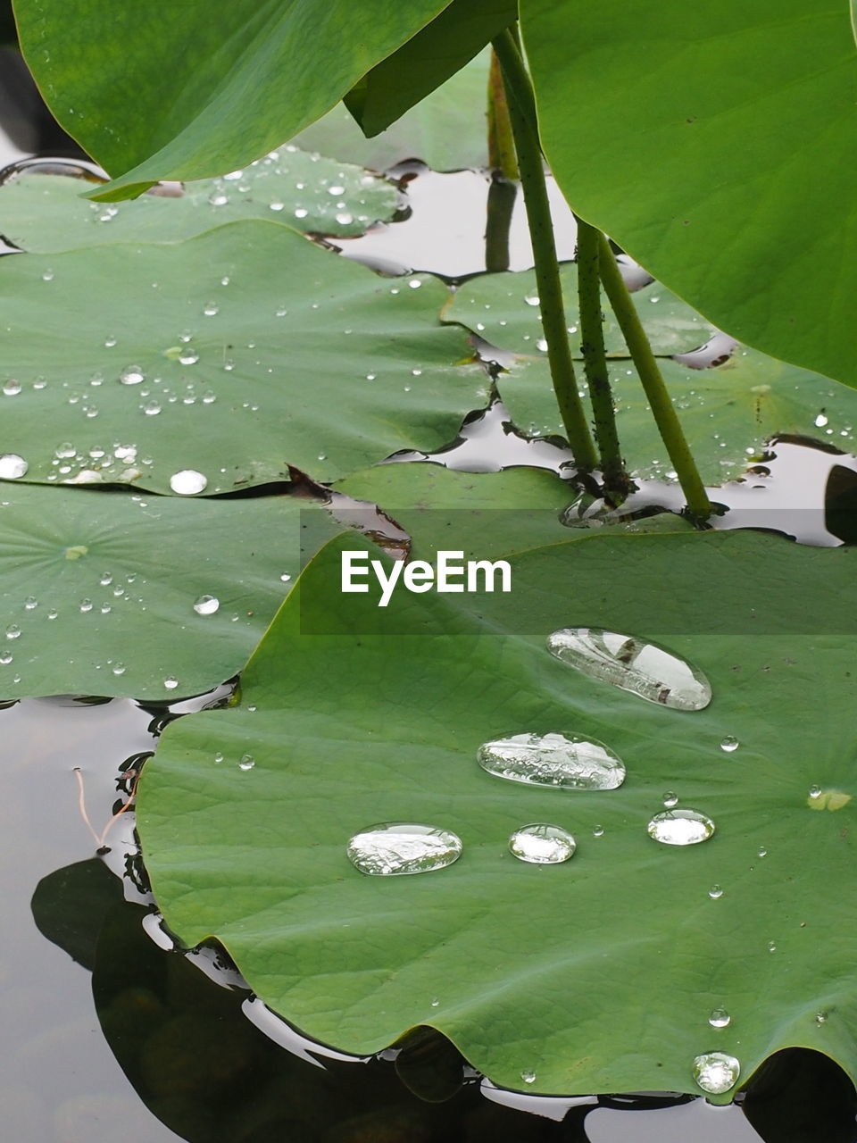 leaf, green color, water, growth, water lily, lily pad, beauty in nature, nature, floating on water, lotus water lily, no people, outdoors, plant, day, lake, banana leaf, flower, freshness, close-up, fragility, flower head