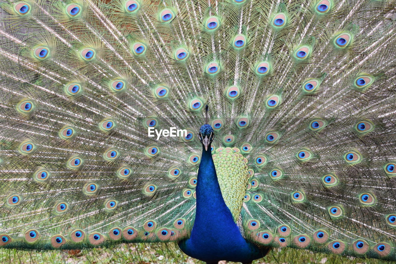 peacock, one animal, animal themes, animal, peacock feather, bird, animals in the wild, feather, animal wildlife, fanned out, vertebrate, no people, multi colored, blue, day, beauty in nature, nature, close-up, outdoors, green color