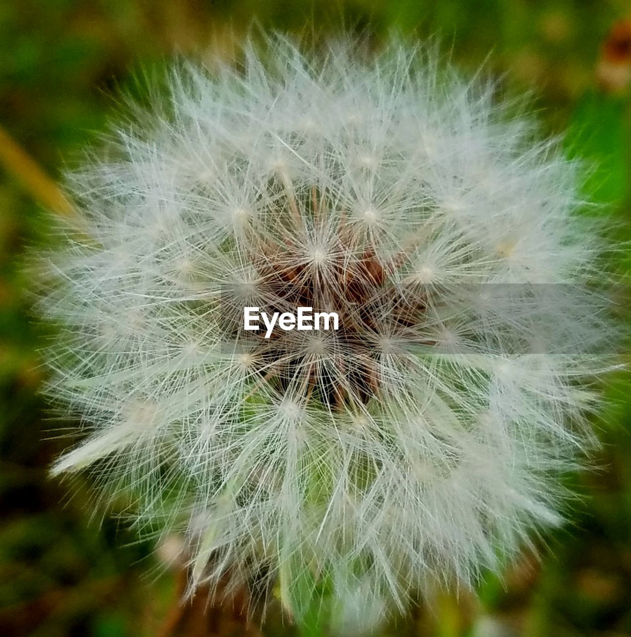 flower, fragility, dandelion, nature, growth, flower head, close-up, softness, focus on foreground, plant, beauty in nature, uncultivated, freshness, wildflower, no people, outdoors, day