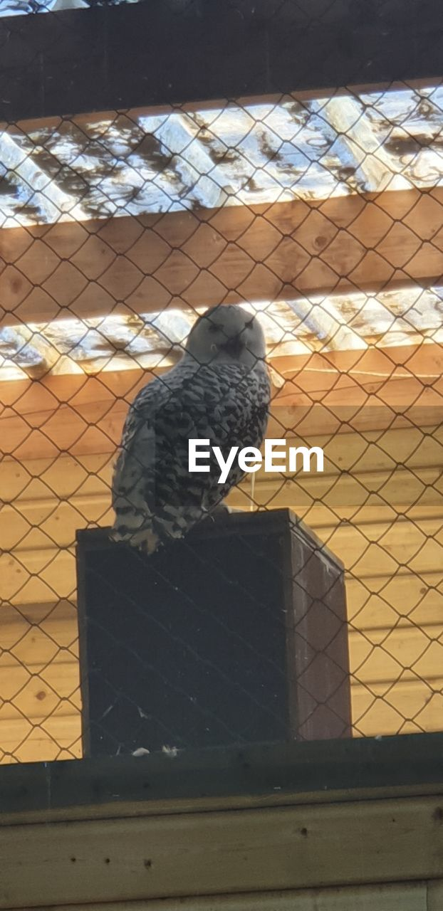 vertebrate, animal, bird, animal themes, animal wildlife, perching, animals in the wild, one animal, parrot, no people, day, metal, nature, outdoors, fence, animals in captivity, pigeon, sunlight, close-up, bird of prey