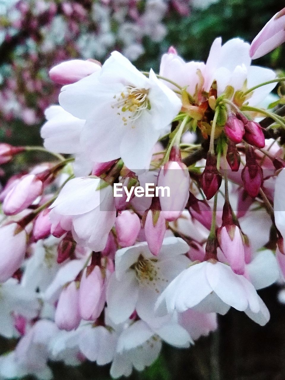 flower, flowering plant, plant, fragility, vulnerability, freshness, beauty in nature, petal, close-up, pink color, growth, inflorescence, flower head, no people, blossom, nature, springtime, day, focus on foreground, outdoors, pollen, bunch of flowers, spring, cherry blossom