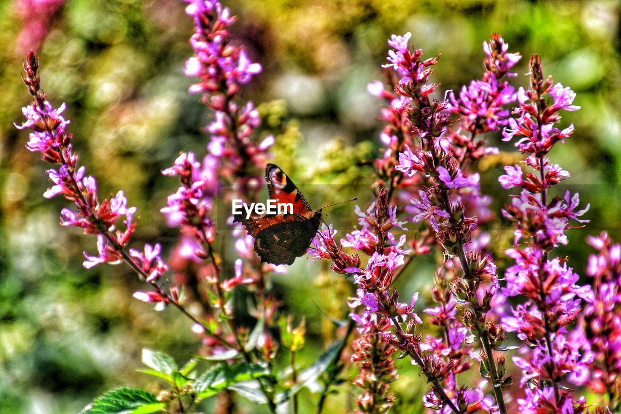 flower, animals in the wild, animal themes, one animal, insect, fragility, growth, nature, beauty in nature, animal wildlife, pollination, petal, day, no people, wildlife, freshness, butterfly - insect, outdoors, symbiotic relationship, plant, purple, focus on foreground, flower head, perching, blooming, bee, close-up, buzzing