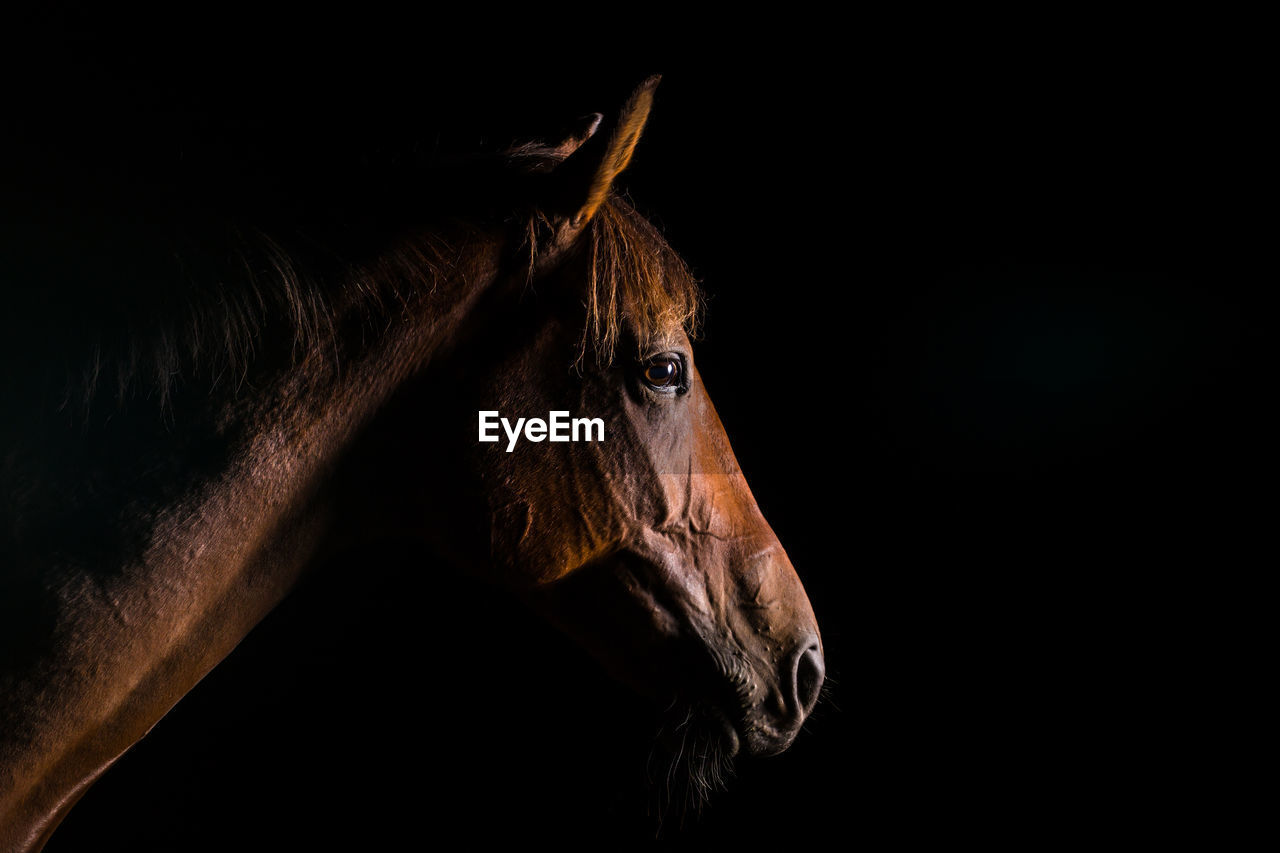 Side View Of Horse Against Black Background