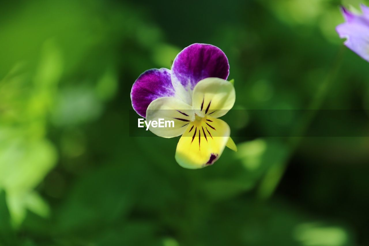 flower, petal, nature, fragility, beauty in nature, growth, yellow, freshness, flower head, plant, blooming, no people, pansy, outdoors, day, close-up