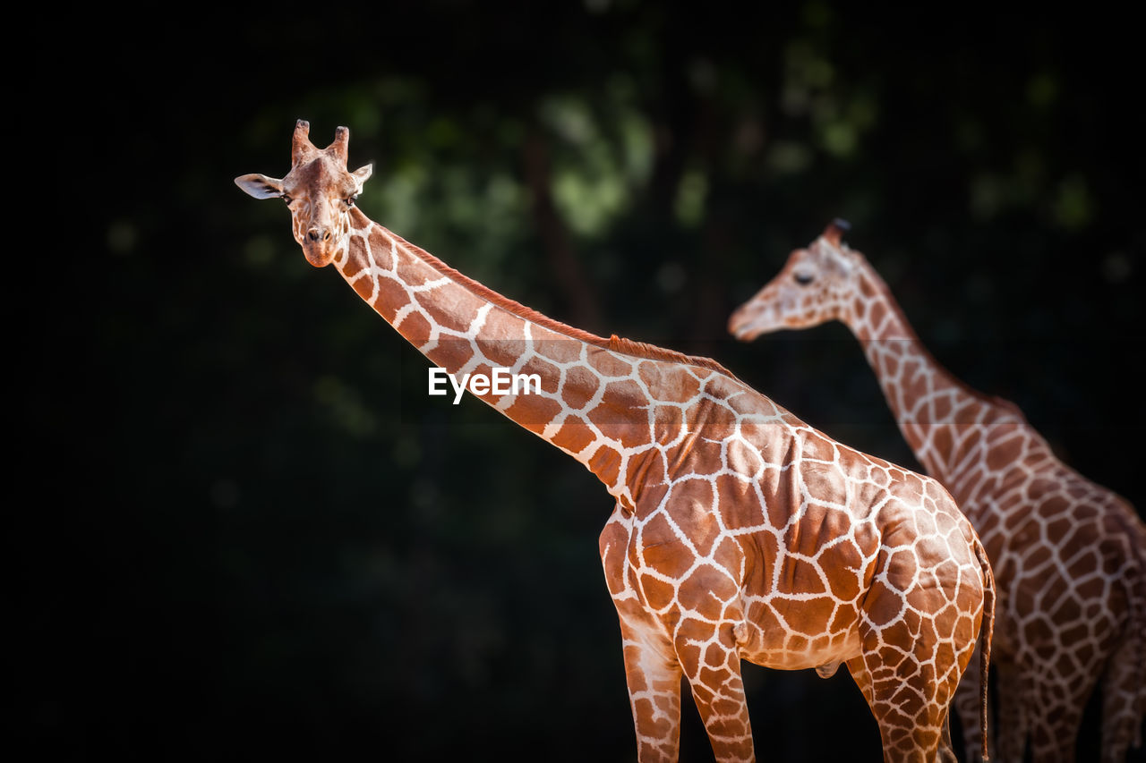 giraffe, animal, mammal, no people, animal themes, focus on foreground, animal wildlife, animal representation, vertebrate, nature, animals in the wild, day, one animal, outdoors, domestic animals, close-up, art and craft, pattern, representation, animal neck, herbivorous