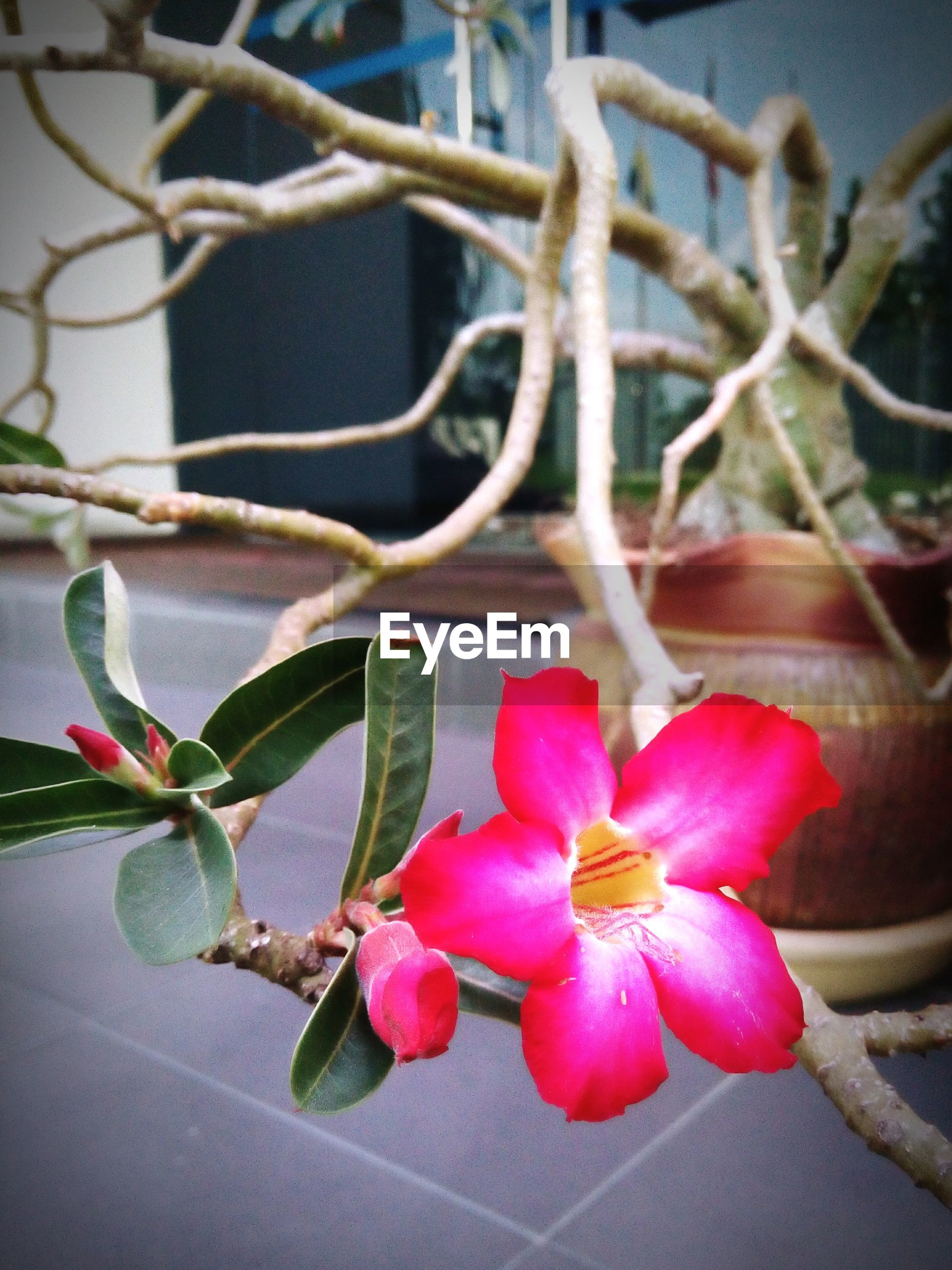 flower, freshness, fragility, growth, plant, petal, red, close-up, focus on foreground, leaf, nature, beauty in nature, pink color, stem, flower head, day, bud, no people, potted plant, branch