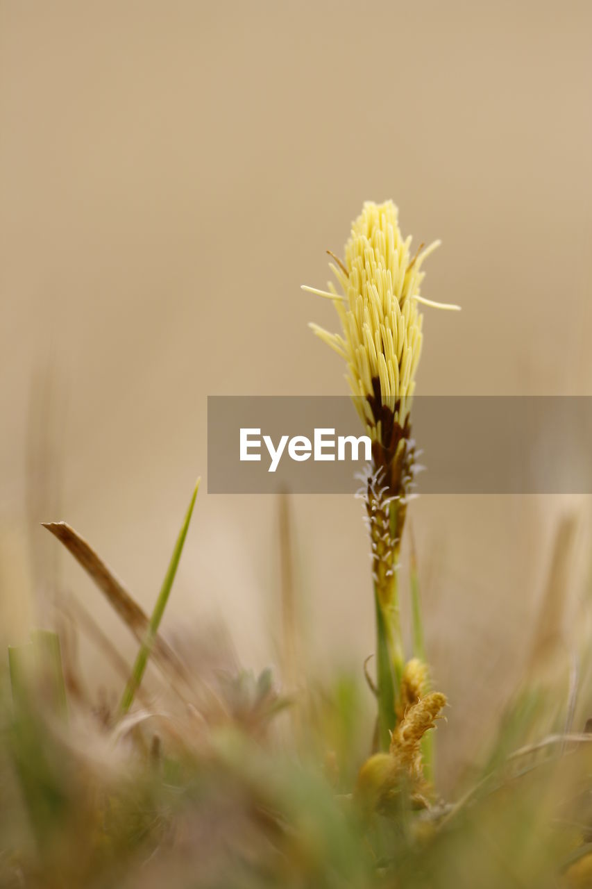 plant, growth, close-up, selective focus, beauty in nature, fragility, vulnerability, nature, no people, flower, flowering plant, day, field, freshness, focus on foreground, outdoors, crop, land, plant stem, yellow, stalk