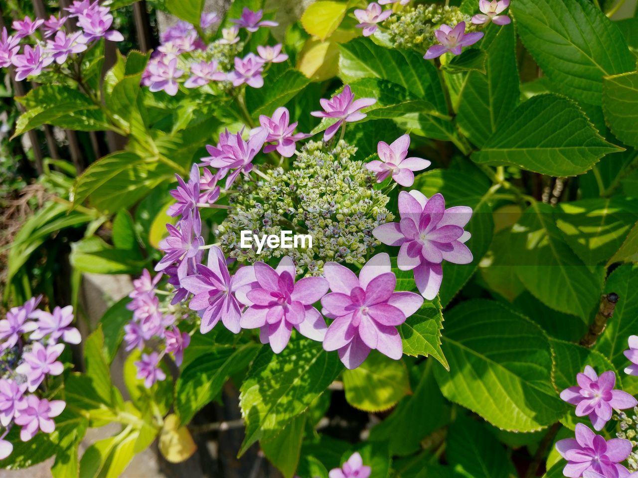 flowering plant, flower, plant, freshness, beauty in nature, fragility, growth, vulnerability, petal, leaf, plant part, pink color, nature, close-up, inflorescence, flower head, green color, day, outdoors, focus on foreground, no people, purple, lilac
