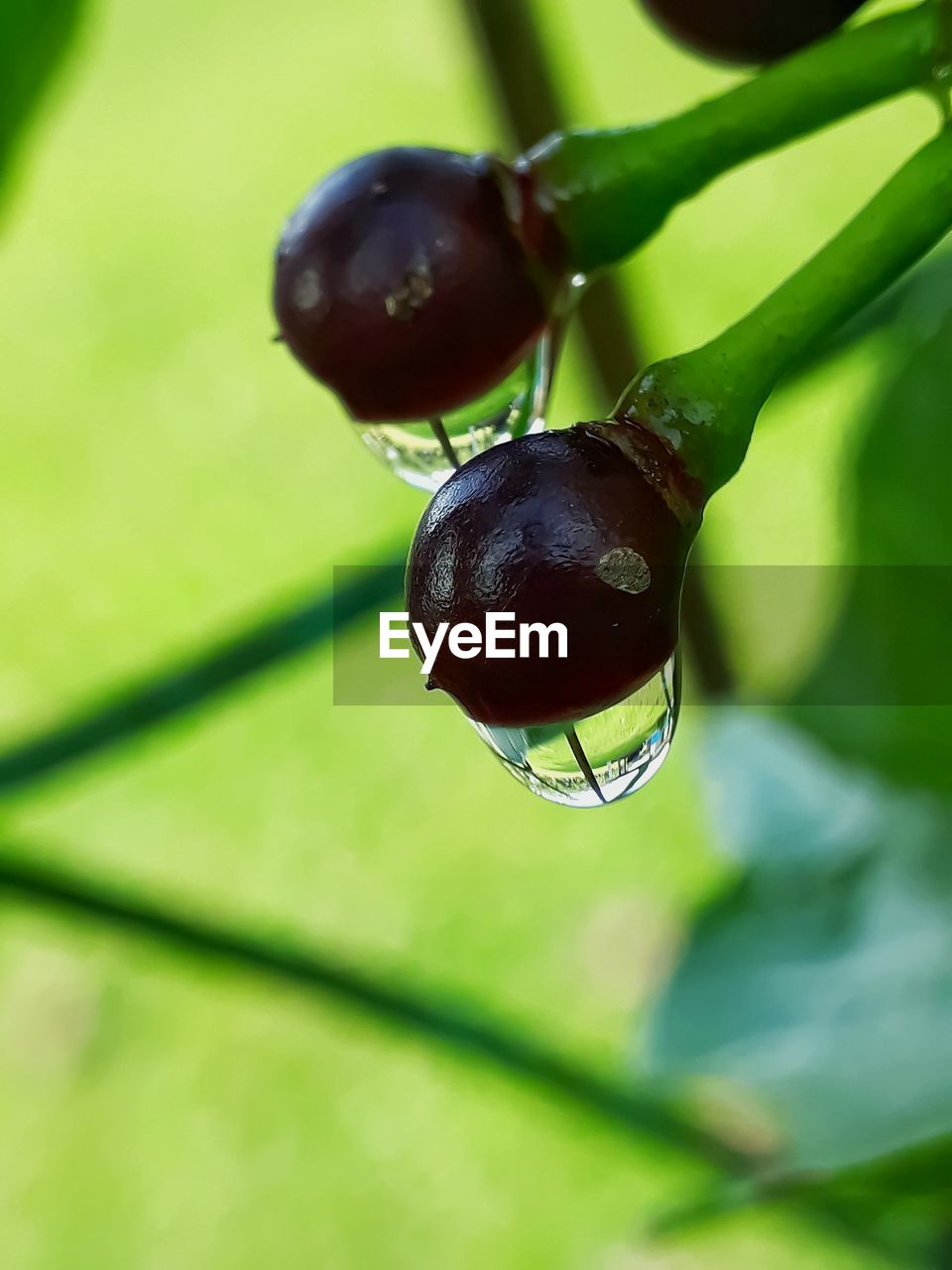 close-up, green color, plant, focus on foreground, no people, food and drink, leaf, plant part, nature, fruit, growth, day, freshness, food, healthy eating, black color, one animal, outdoors, water, invertebrate