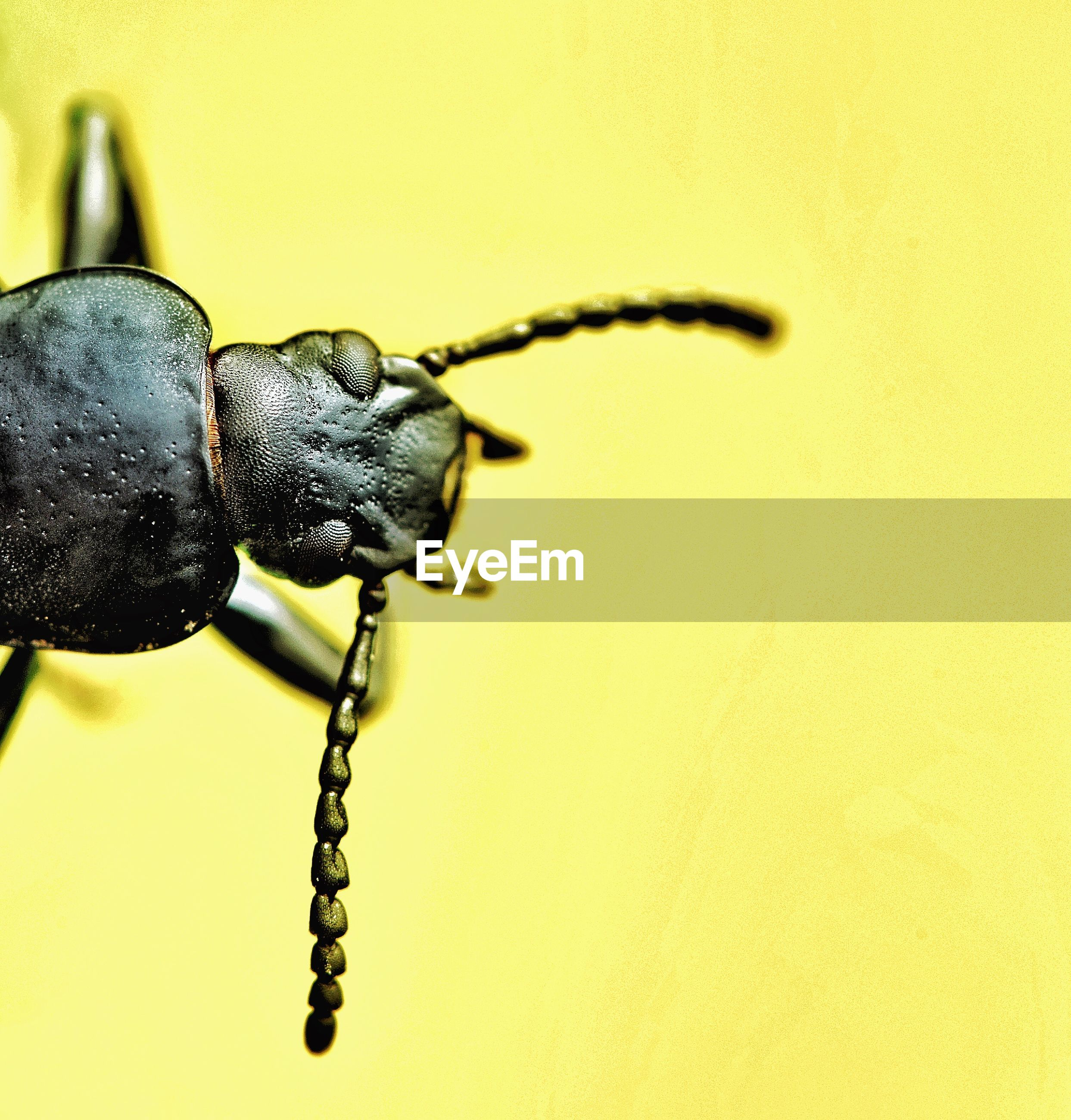 Close-up of black insect on yellow background