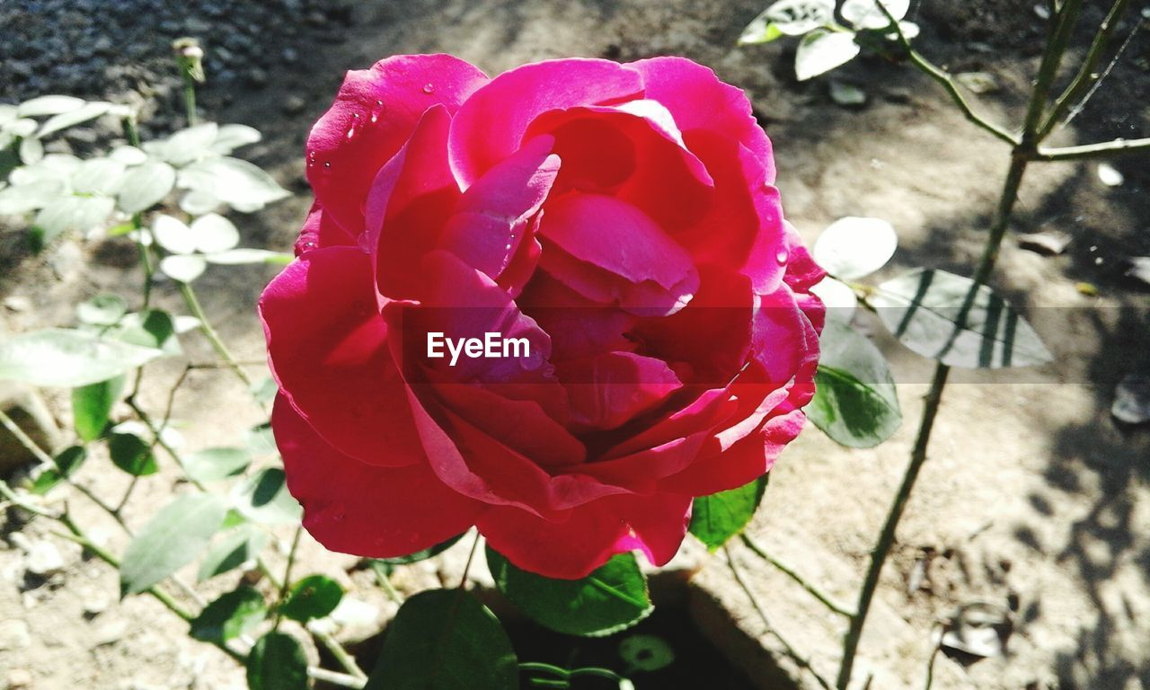 flower, petal, nature, fragility, beauty in nature, flower head, freshness, growth, plant, day, outdoors, blooming, high angle view, sunlight, rose - flower, no people, close-up