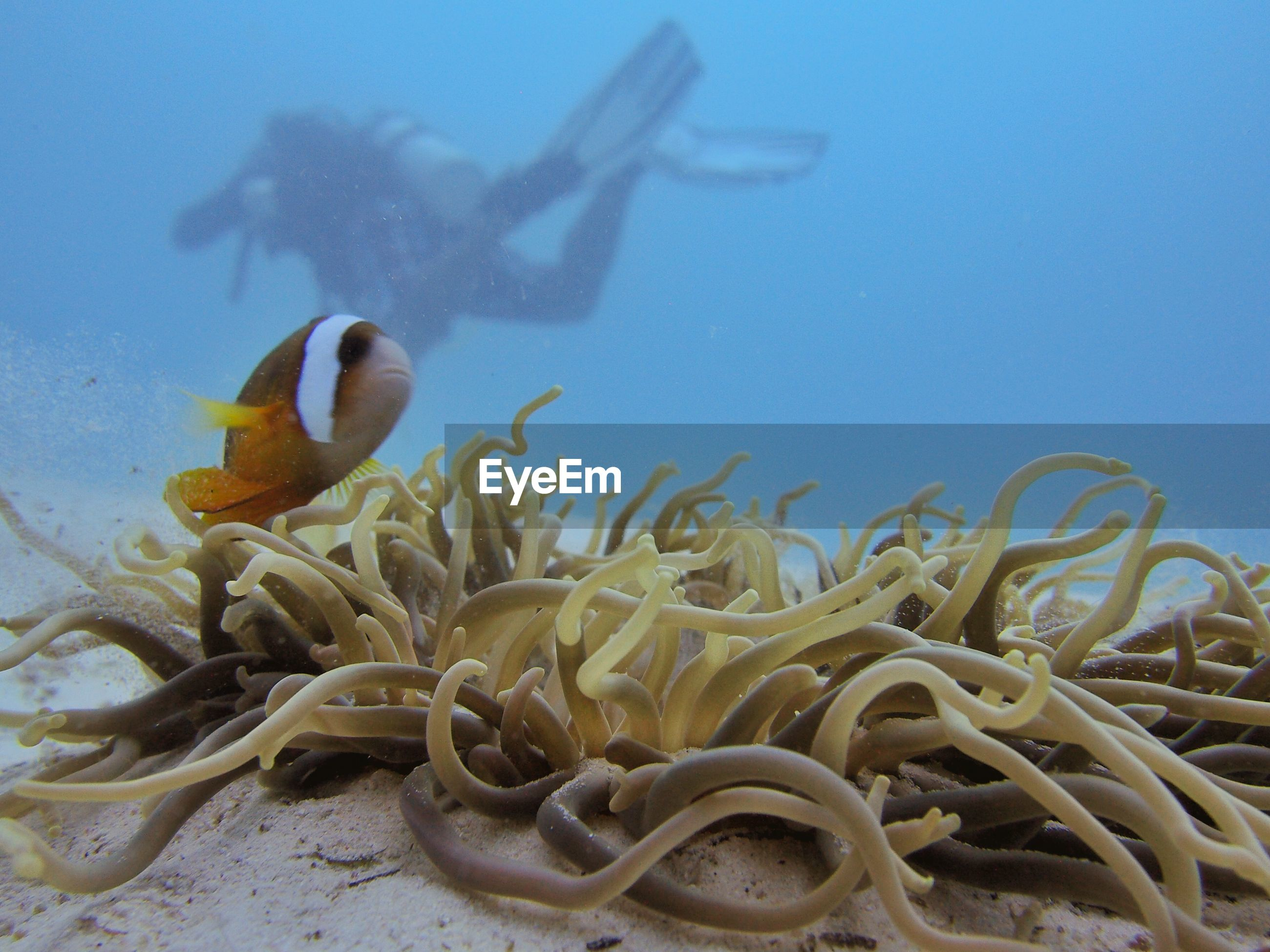 Clown fish by coral against person swimming in sea