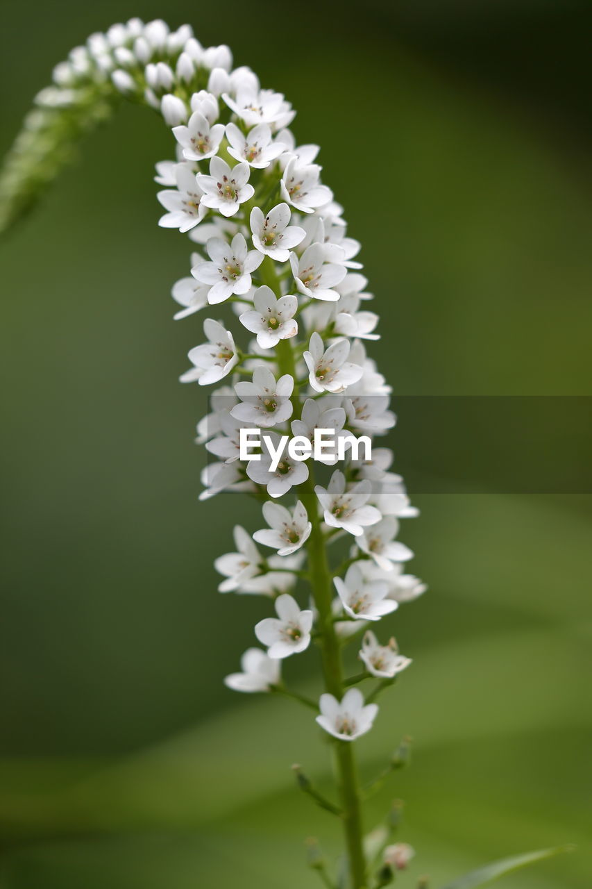 flowering plant, flower, plant, freshness, vulnerability, beauty in nature, fragility, white color, close-up, growth, nature, no people, flower head, selective focus, petal, inflorescence, focus on foreground, day, outdoors, green color, bunch of flowers