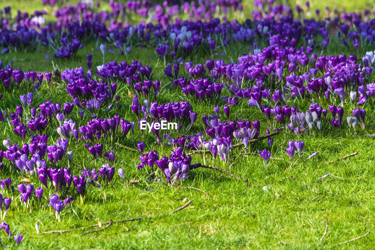 purple, flower, beauty in nature, growth, field, nature, no people, freshness, fragility, plant, day, green color, grass, outdoors, tranquility, flower head, blooming, crocus, close-up